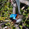 Male Variegated Fairy-wren (Malurus lamberti)