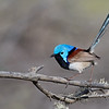 Bright male Variegated Fairy-wren (Malurus lamberti)