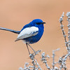 Male White-winged Fairy-wren (Malurus leucopterus)