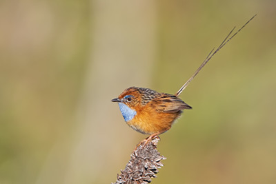 Fairy-wrens, Emu-wrens and Grasswrens