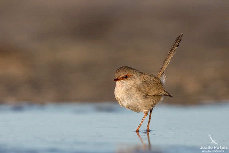 Superb Fairy-wren - Female
