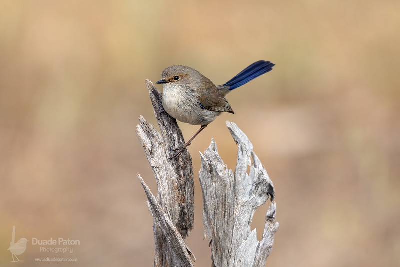 Superb Fairy-wren (Eclipse Male)