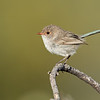 Female Splendid Fairy-wren (Malurus splendens ssp. emmettorum)