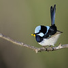 Male Superb Fairy-wren (Malurus cyaneus)