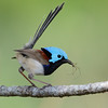 Variegated Fairywren (Malurus lamberti), Tallebudgera Creek, Burleigh Heads, Queensland.