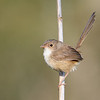 Female Red-backed Fairywren (Malurus melanocephalus)