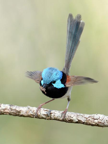 Male Variegated Fairywren (Malurus lamberti)