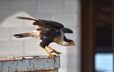 Young  Adult Northern Crested Caracara