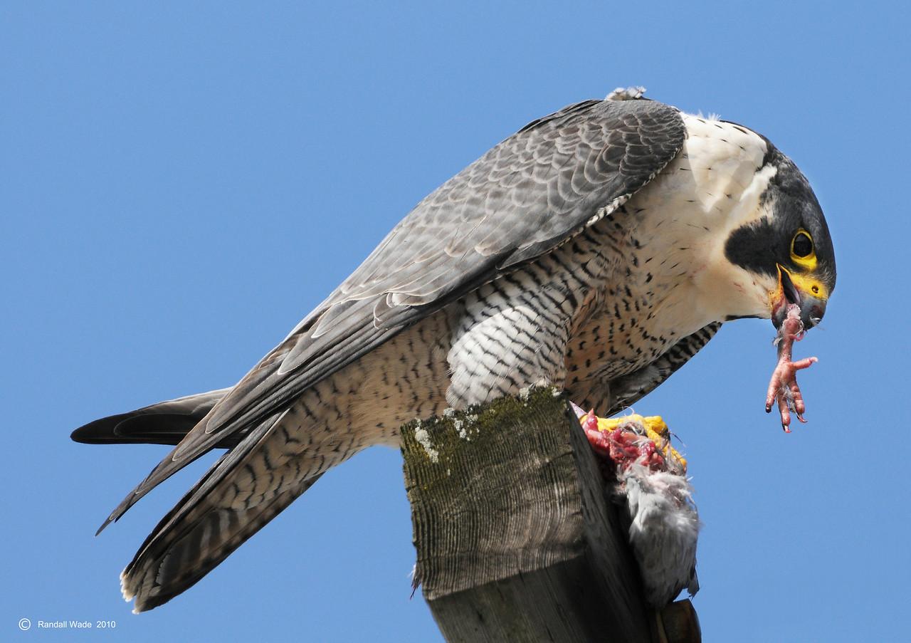 Pigeon-toed Peregrine Falcon