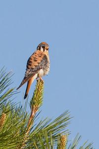 American Kestrel - Male - Sierraville, CA, USA