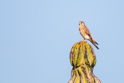 American Kestrel - Baja California, Mexico