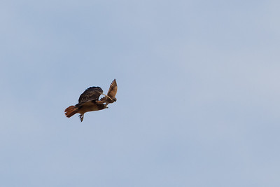 American Kestrel mobbing a Red-tailed Hawk - San Benito County, CA, USA