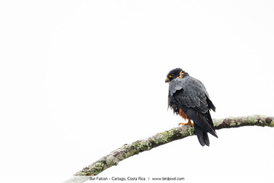 Bat Falcon - Cartago, Costa Rica