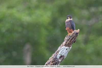 Bat Falcon - Chiquibul National Park & Reserve, Belize
