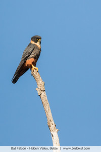 Bat Falcon - Hidden Valley, Belize