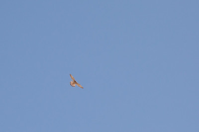 Common Kestrel over the unfinished Obelisk - Aswan, Egypt