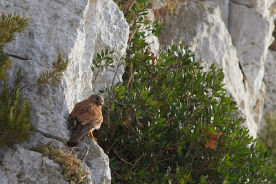 Common Kestrel - Rock of Gibraltar, Gibraltar