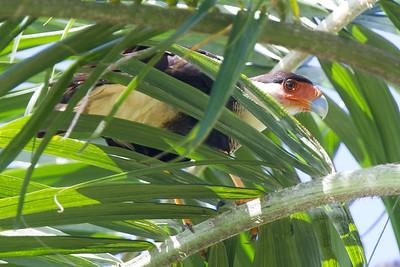 Crested Caracara - Record - Osa, Costa Rica