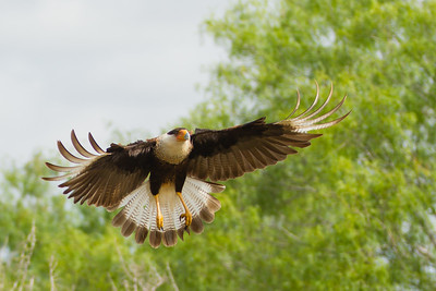 Crested Caracara - Martin Refuge, Mission, TX, USA