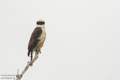 Laughing Falcon - Dorsal - Crooked Tree, Belize