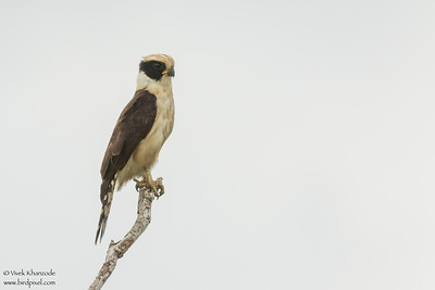 Laughing Falcon - Crooked Tree, Belize