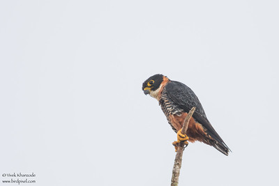 Orange-breasted Falcon - Hidden Valley, Belize