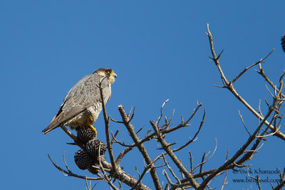 Peregrine Falcon - Record - Point Lobos, Carmel, CA, USA