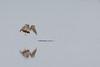 Peregrine Falcon - Alviso, CA, USA
