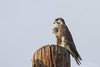 Prairie Falcon - Panoche Valley, CA, USA