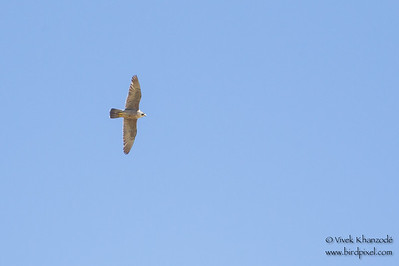 Prairie Falcon - Record - Marble Hot Springs, Sierra Valley, CA, USA