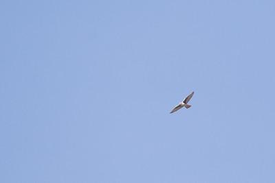 Prairie Falcon - Solano County, CA, USA