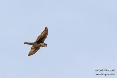 Prairie Falcon - San Benito County, CA, USA