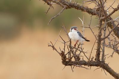 Pygmy Falcon - Tarangire National Park, Tanzania
