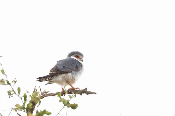 Falcons & Caracaras - Falconidae