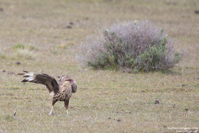 Southern Caracara - Chile
