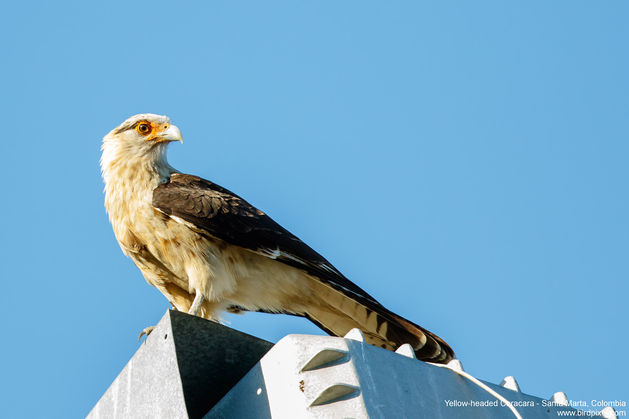 Yellow-headed Caracara - Santa Marta, Colombia