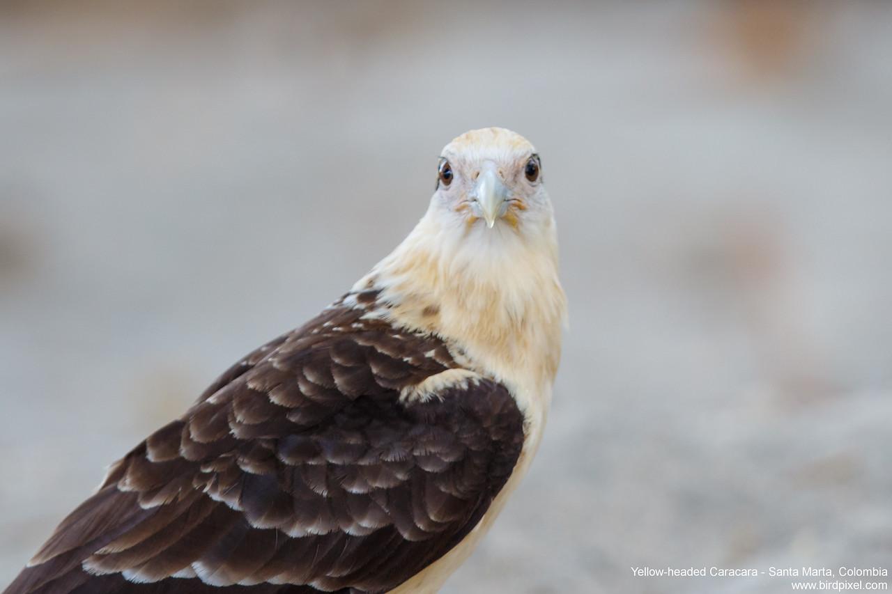 Yellow-headed Caracara - Santa Marta, Colombia
