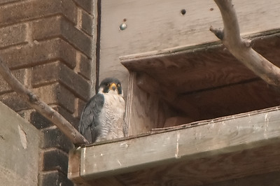 Peregrine Falcon - Buffalo Central Terminal August 2014