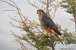 New Zealand Falcon (Falco novaeseelandiae)