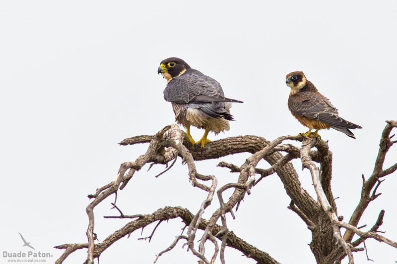 Peregrine Falcon and Australian Hobby