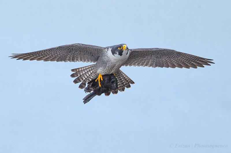Peregrine Falcon with Prey