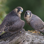 Peregrine Falcon Fledglings