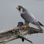 Peregrine Falcon with Prey