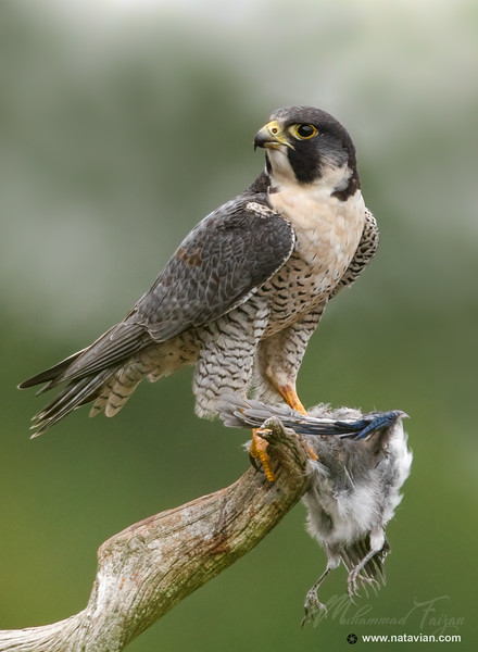 Peregrine Falcon (Male) with blue jay