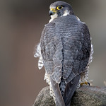 Adult Peregrine Falcon (Female)