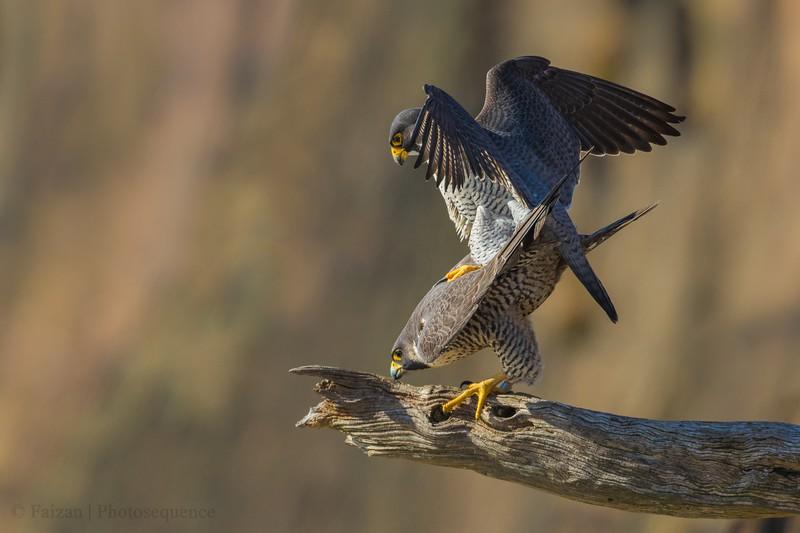 Peregrine Falcon procreation