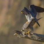 Peregrine Falcon procreation