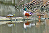 Northern Shovelers and a Painted Turtle