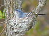 Blue-gray Gnatcatcher building a nest