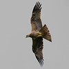 300 2.8vr (missed the focus slightly and should have shot at least f4 or more)Black Kite?
